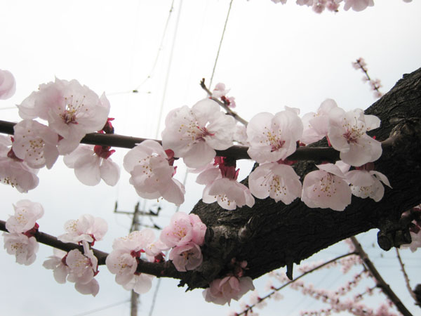 日本第2位への軌跡「田尻あんず物語(前編)」