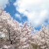 福山市鞆町(鞆の浦)桜の名所、花見スポット厳選7ヵ所~桜満開予想も掲載!鞆在住のチェック社長がオススメするポイント