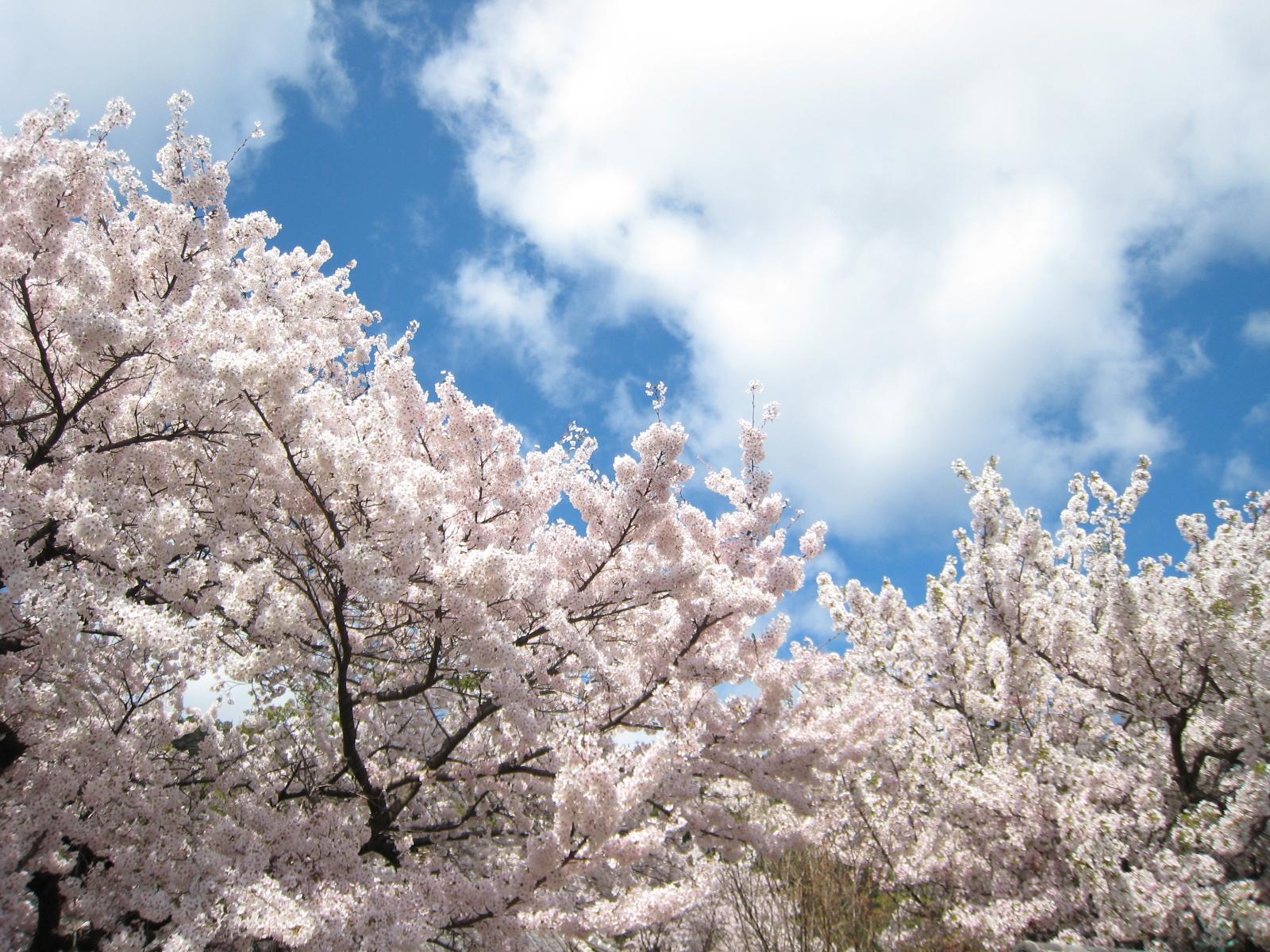 福山・鞆の浦 桜の名所、花見スポット厳選7ヵ所
