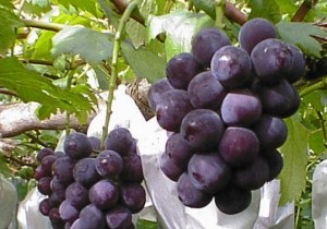 grape040821