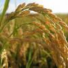 勤労感謝の日ではなく、新穀の収穫・五穀豊穣を感謝する日