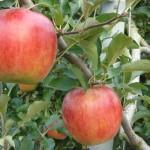 福山市内から車で1時間29分「りんご狩り」のできる「果実の森公園」