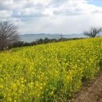 福山市田尻町で「第15回菜の花まつり」(2015年)が開催されます
