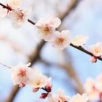 福山市田尻町で開催される「杏まつり」のイベント詳細(2015年3月22日)
