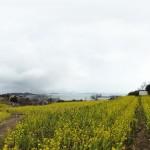 福山市田尻町で開催「菜の花まつり2016」に行こう!