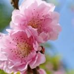 福山市田尻町の「杏まつり」に行こう!(2016年3月20日)