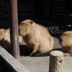 福山市立動物園で「第6回動物園まつり2016」が開催!~11月5日は入園料無料。さらに飲食屋台やゲームコーナー、カピバラとの記念撮影など