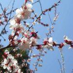 福山市田尻町の「杏まつり2017」に行こう!~田尻町の山際、県道で杏の花を堪能