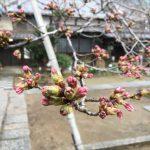 福山市鞆町(鞆の浦)桜の開花情報2017~現地で撮ってきた桜の状況を公開